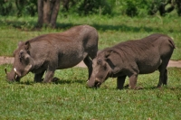Foto van Warthogs in their peculiar eating position - Uganda