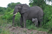 Foto van Elephant mother and kid coming out of the shrubbery - Uganda