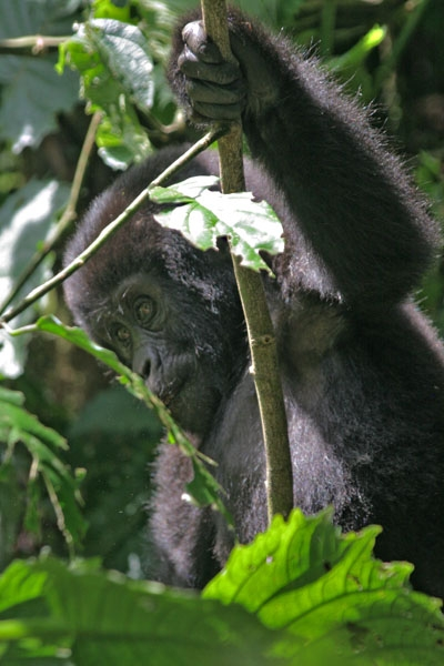 Young gorilla in Bwindi Impenetrable National Park
