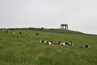 Foto van Cows near Aberdeen - United Kingdom