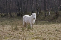 Foto de Horse grazing in Scotland - United Kingdom