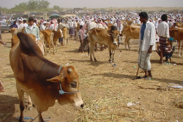 Send picture of Cattle market in Bayt al-Faqih from Yemen as a free postcard