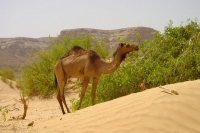 Foto di Dromedary  in Wadi Hadramawt  - Yemen