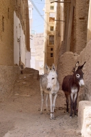 Photo de Mules in a Yemeni street - Yemen