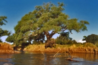 Foto van Elephant coming for a drink on the Zambezi river - Zimbabwe